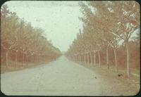 Hiller 09-032: A straight road lined with trees 1