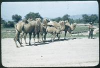 Hiller 08-099: Camels and their handler, Peiping