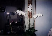 White orchids in the sunroom at Starr Residence