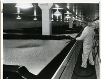 Anheuser-Busch Brewery - Mixing in the Yeast